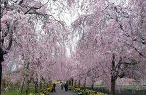 ③しだれ桜.png